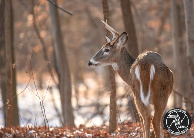 white-tailed-deer-buck