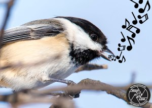 black-capped-chickadee-branch
