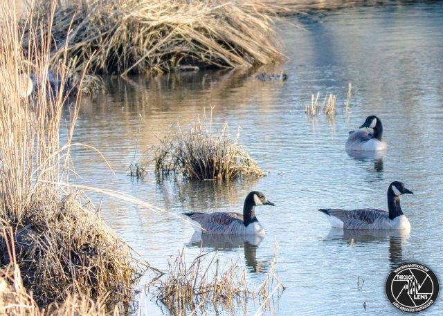 cackling-goose