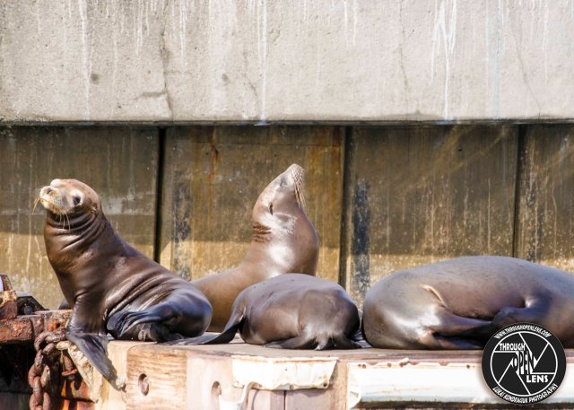 california-sea-lions