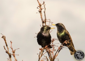 european-starlings