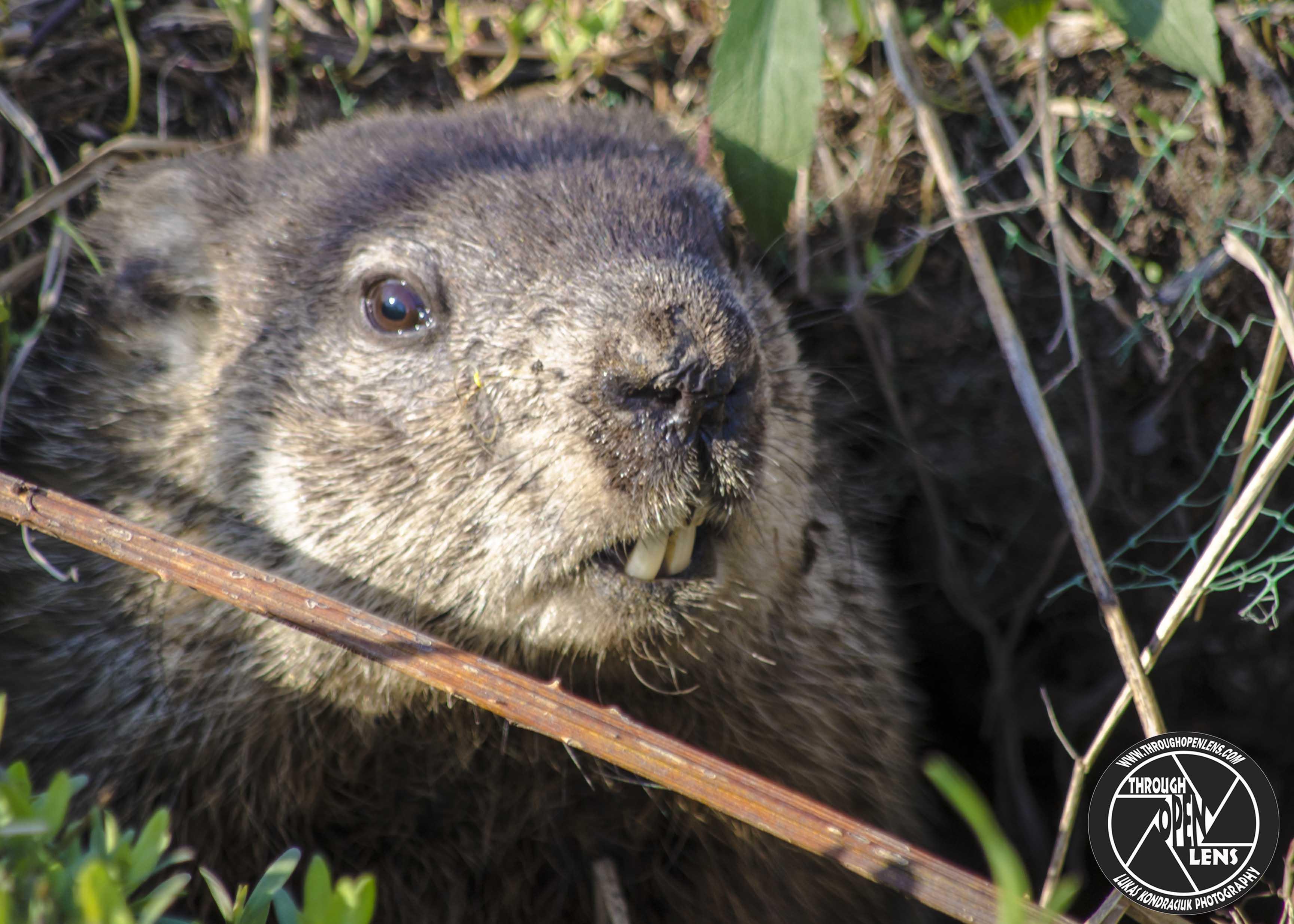 groundhog u2013 through open lens