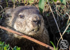 groundhog-woodchuck
