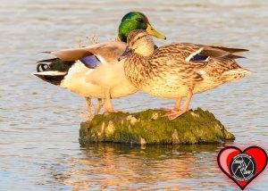 mallard-love
