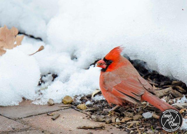 northern-cardinal-5