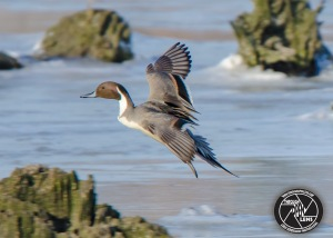 northern-pintail-duck-1