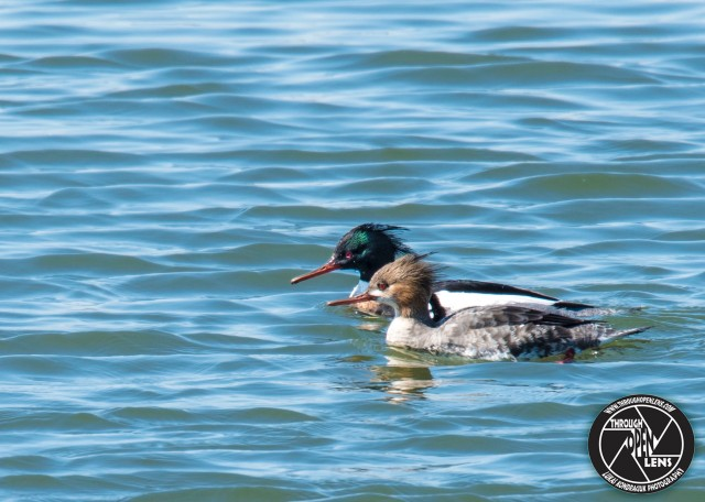 red-breasted-mergansers