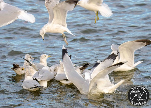 ring-billed-gulls