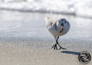 sanderling-eating
