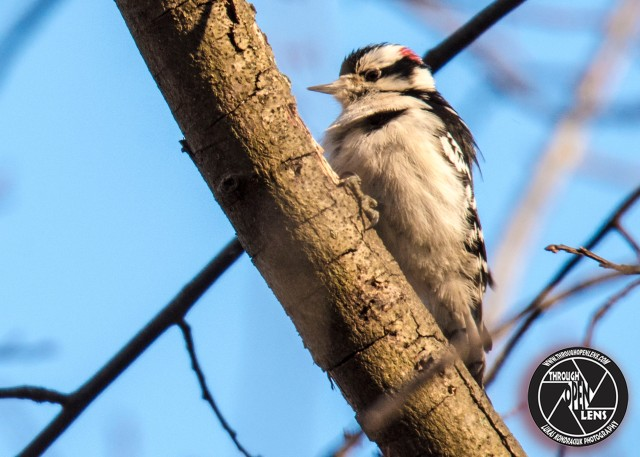 downy-woodpecker-4