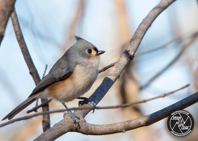 tufted-titmouse-3