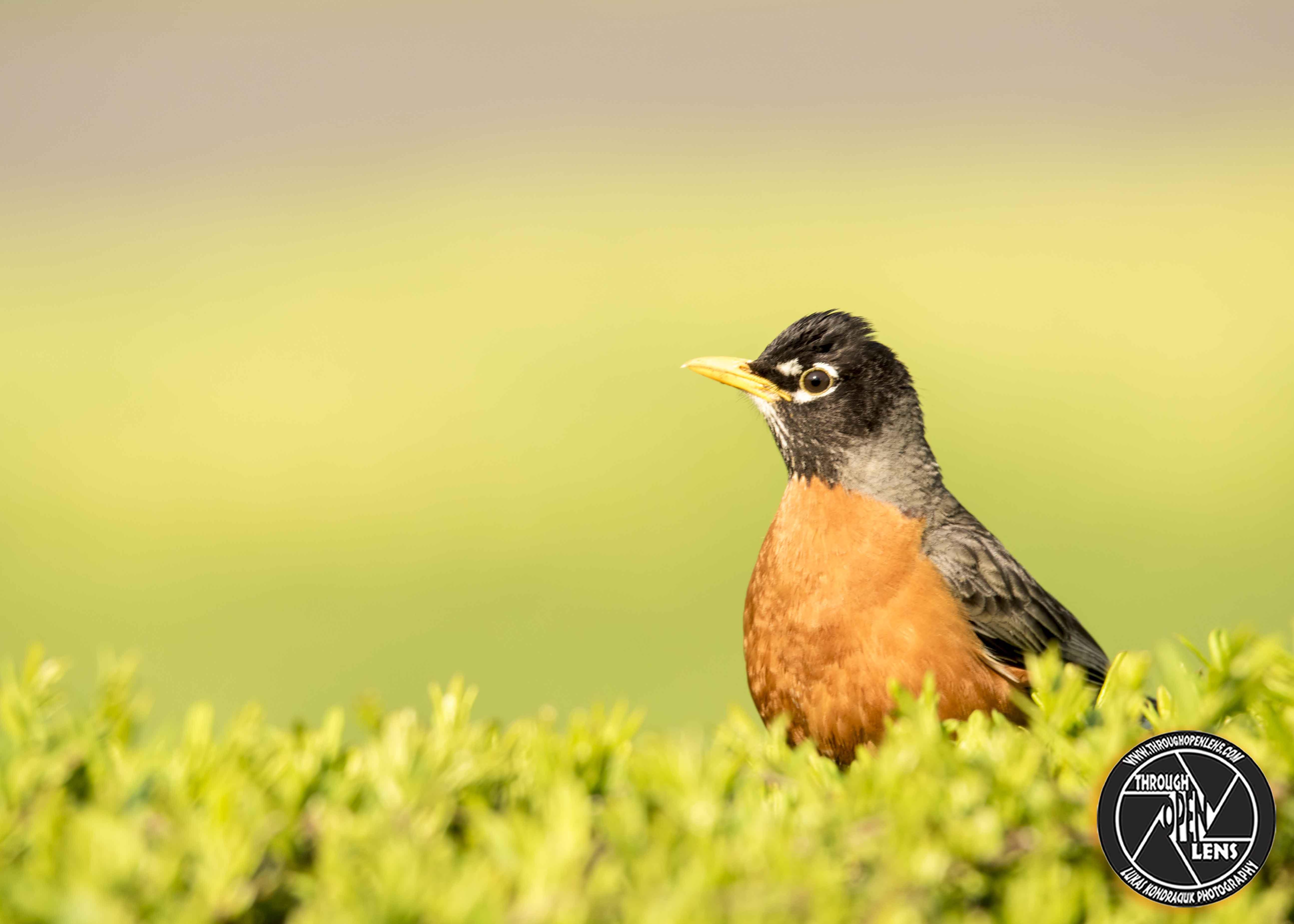 ¡Tenga cuidado con los petirrojos! | El Centro de Vida Silvestre de Virginia