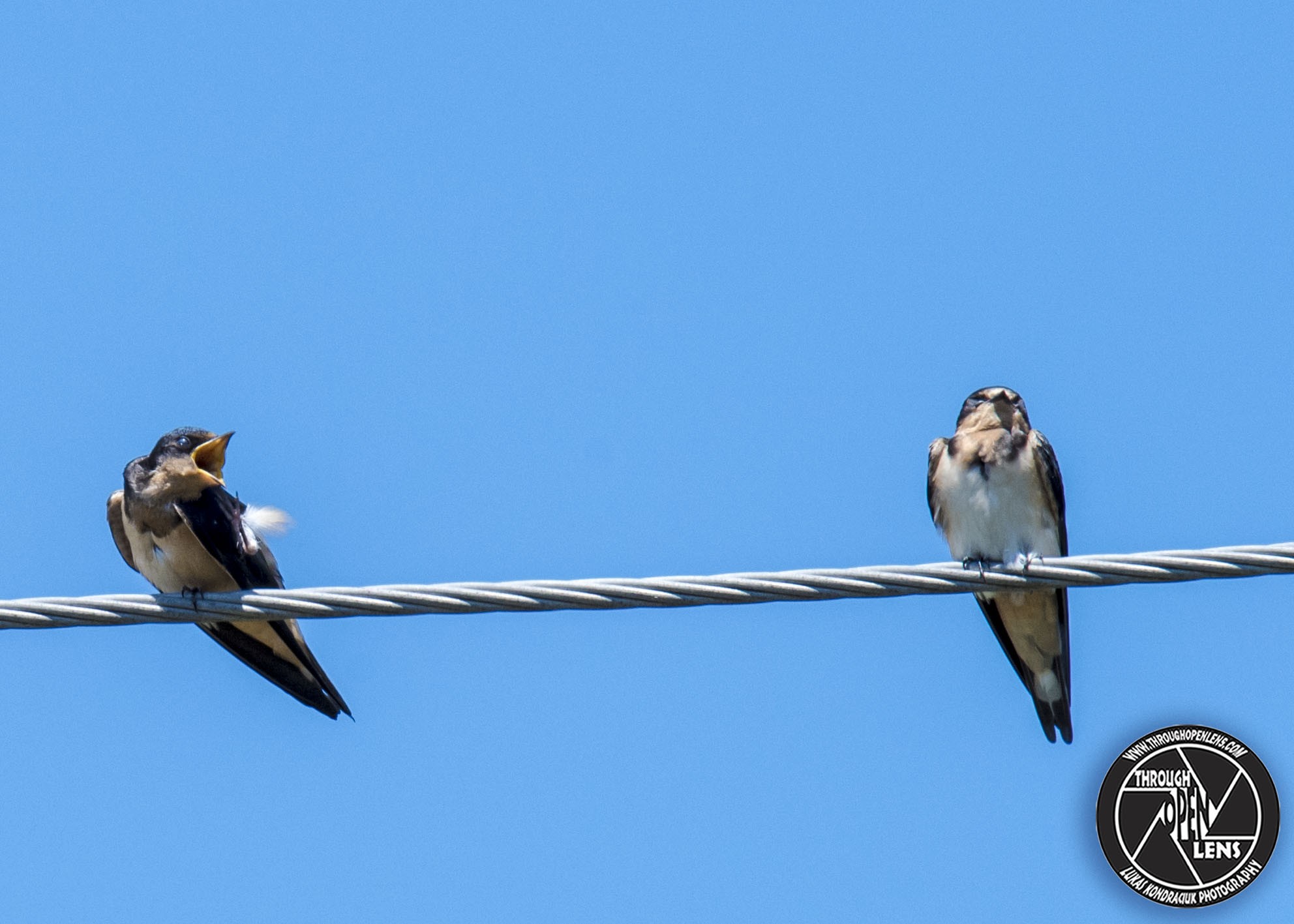 barn swallow on wire – Through Open Lens